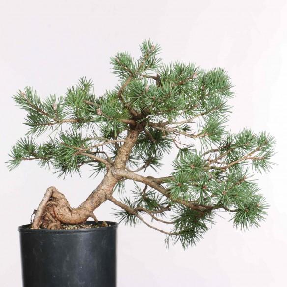 Pinus sylvestris - B1300