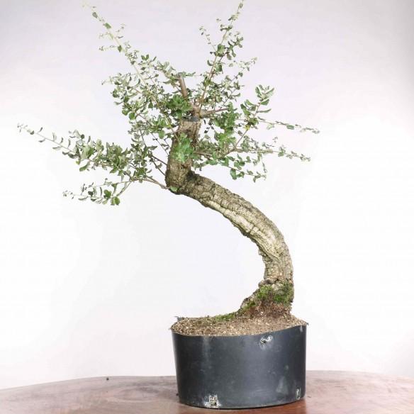 Quercus suber - B1301