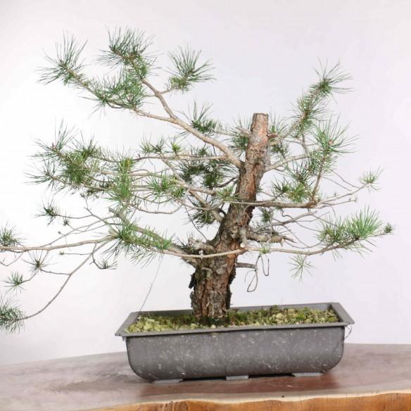 Pinus sylvestris - B1303
